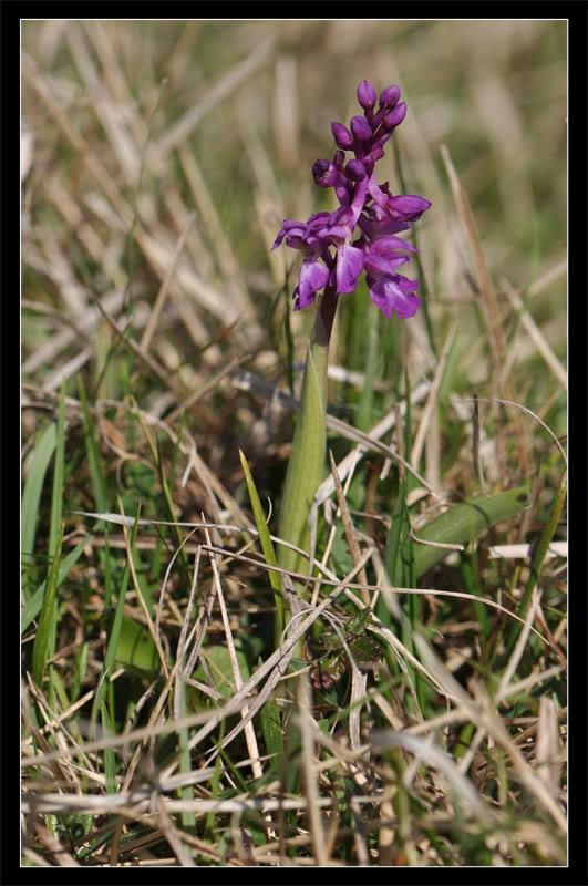 Orchis mascula ( Orchis mâle ) 4-4