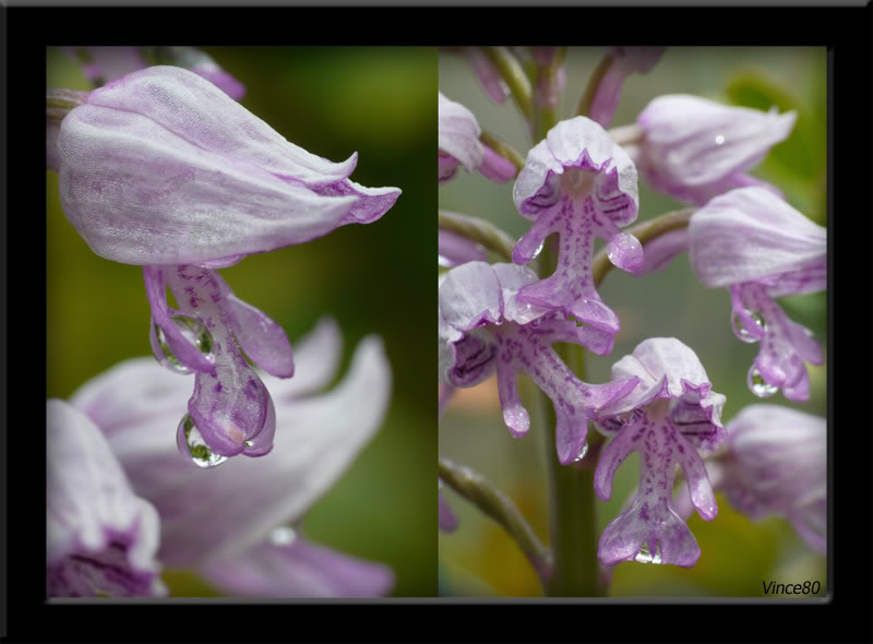 Orchis militaris ( Orchis militaire ) A10