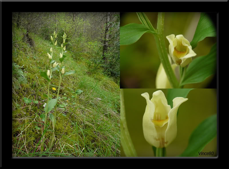 Cephalanthera damasonium( Céphalanthère à grandes fleurs) A12