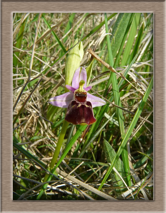 Ophrys fuciflora ( Ophrys frelon  ) Abeille_modifi-1