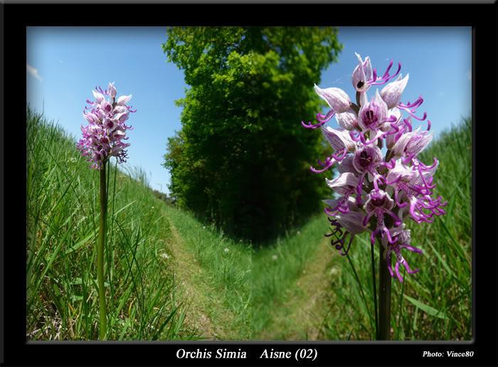 orchis simia ( Orchis singe ) Cadre4