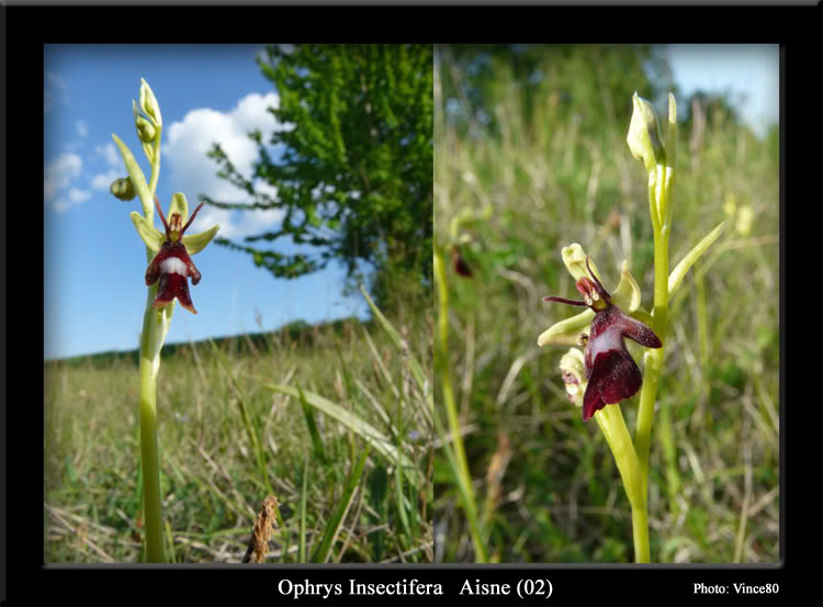 Ophrys insectifera ( Ophrys mouche ) Cadre7