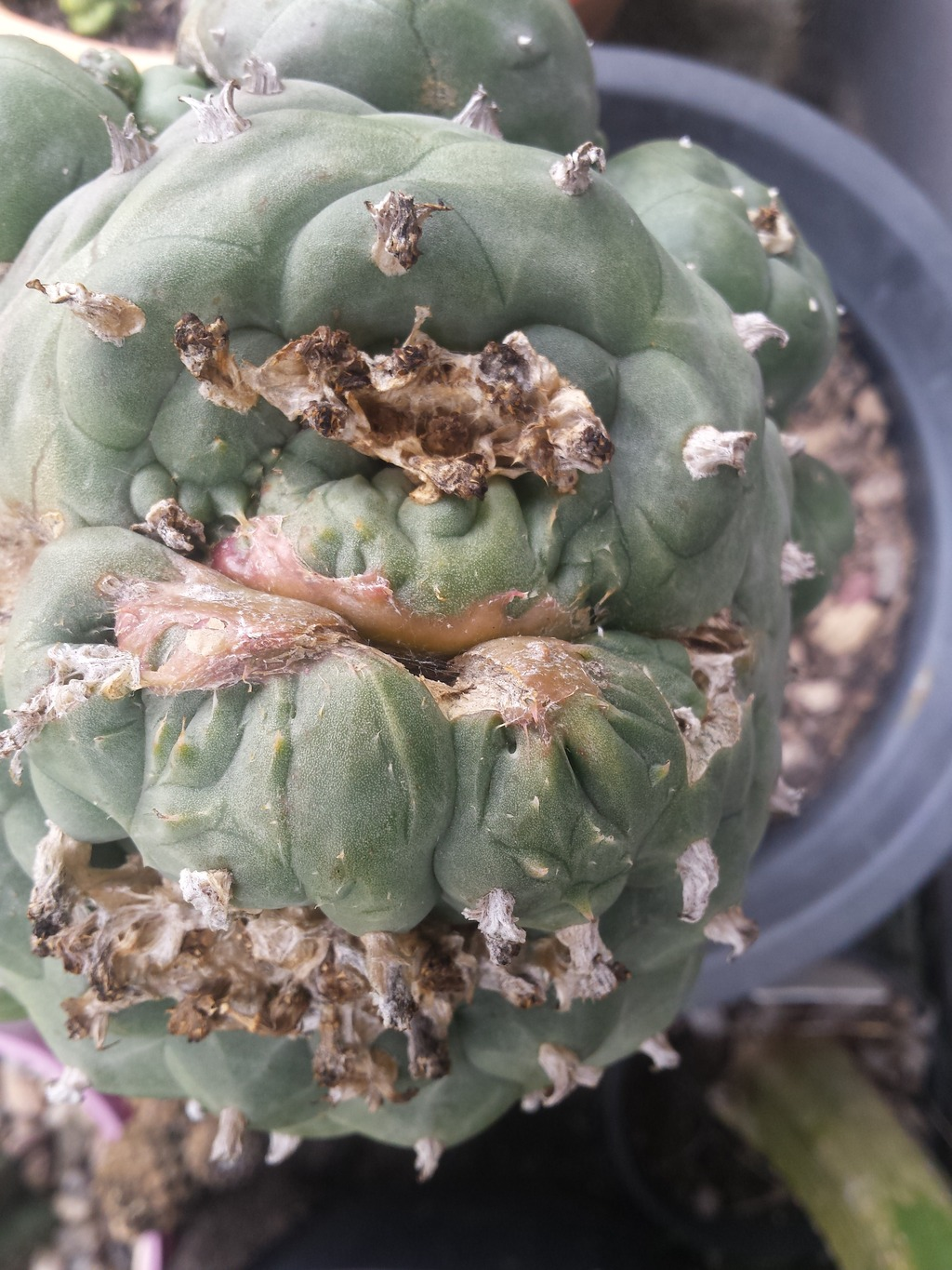 loph with freaky new growth? 20150329_132347_zpsdupn9vnq