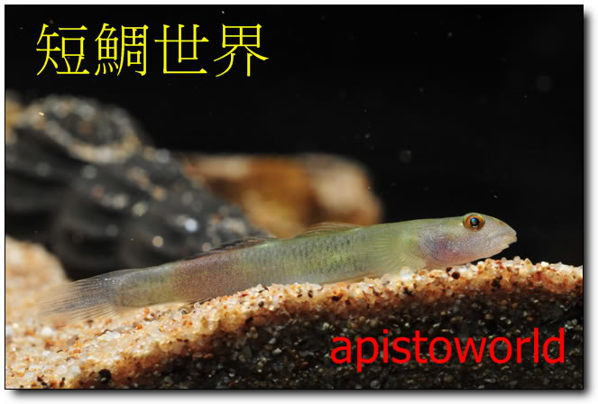 identification of a goby -  赤いヨロイボウズハゼです - Lentipes 0033