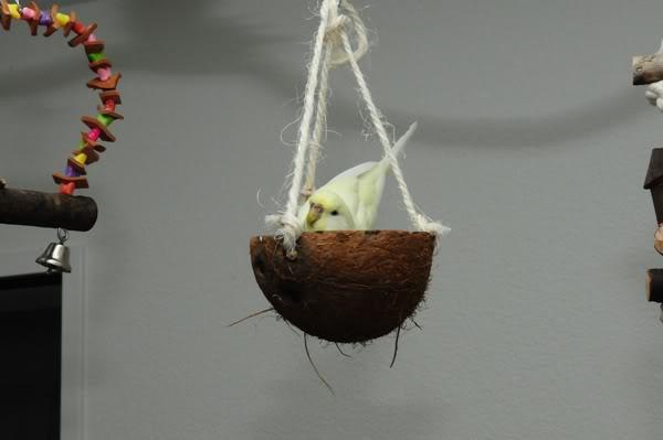 8 perruches apprivoisées DSC_2484i