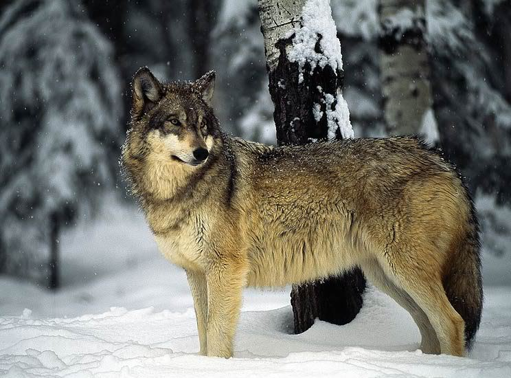 Atrius the knowing GrayWolfStandingintheSnow