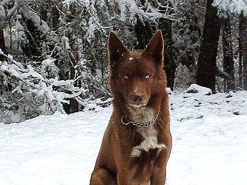 Native American Dogs  Nativedog
