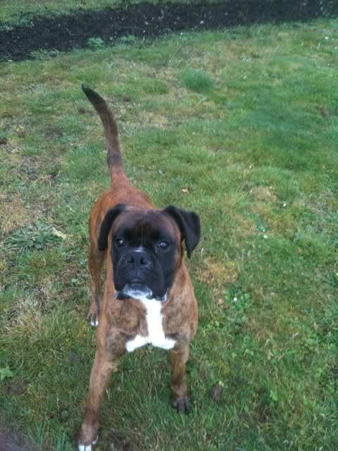 Louie , Boxer, South Yorks Ff512988