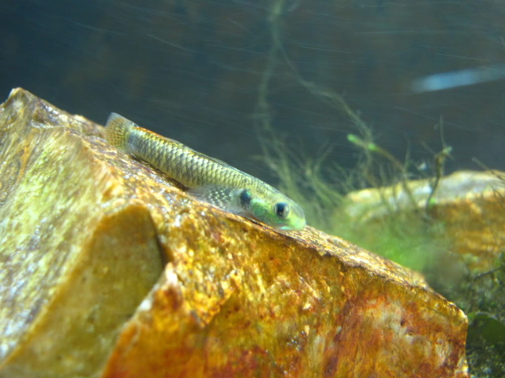 We invite all Aquarists to share their experience on Stiphodon Morestiph007