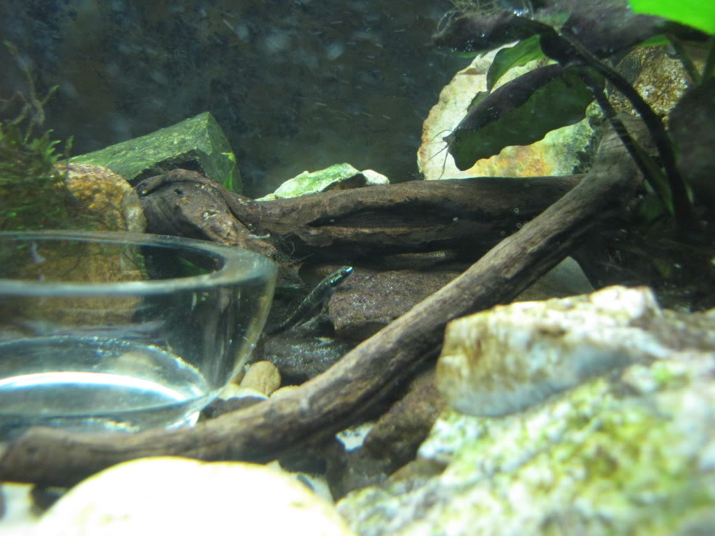 We invite all Aquarists to share their experience on Stiphodon Riverfish021