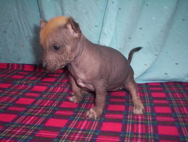 perro peruano perro sin pelo del peru  1267761270_78290243_4-perro-peruano-PERRO-SIN-PELO-DEL-PERU-DE-TAMAnO-PEQUEnO-DESPARASITADOS-MES-Y-10-DIAS-Compra-Venta