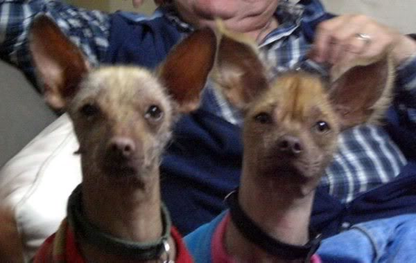 perro peruano perro sin pelo del peru  Viringo-perro-peruano-sin-pelo-toy-servicio-de-monta1287704165