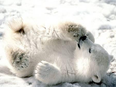 Najslađe životinje na svijetu - Page 2 Baby_polar_bear-thumb