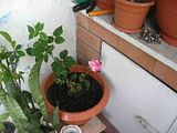 florile din apartament/gradina - Pagina 2 Th_7