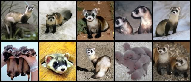 El Hurón de Patas Negras (Black footed ferret) Bffcollage