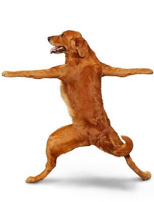 Chó tập Yoga 10