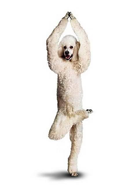 Chó tập Yoga 12