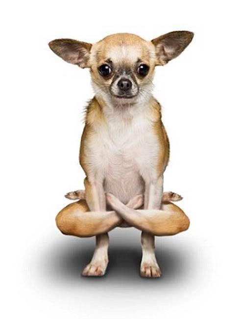 Chó tập Yoga 9