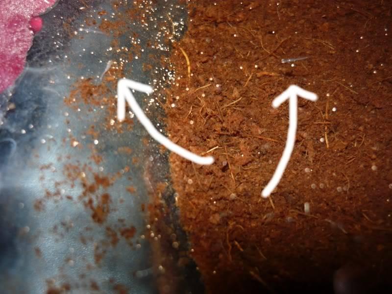 fotos de unos alevines de austrolebias belloti P1060354