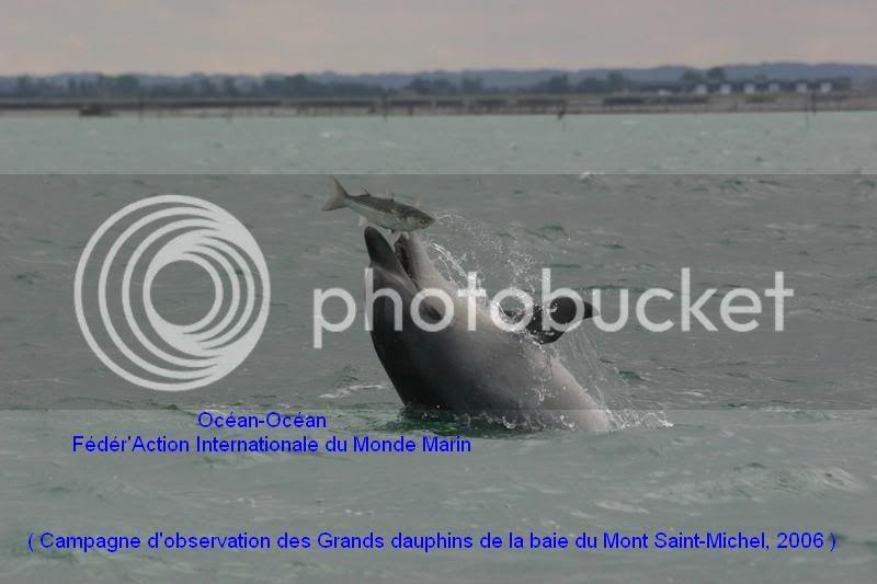Grands dauphins de la baie du Mont Saint-Michel IMG_0004ok