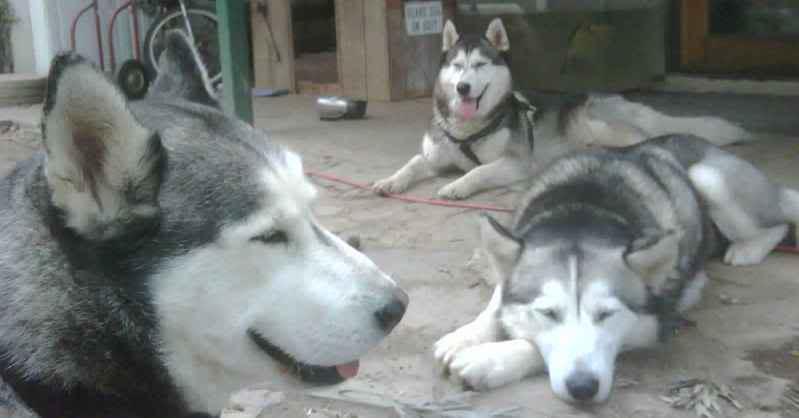 Siberian Husky CHEW TOY 's *** Haha IMG00139