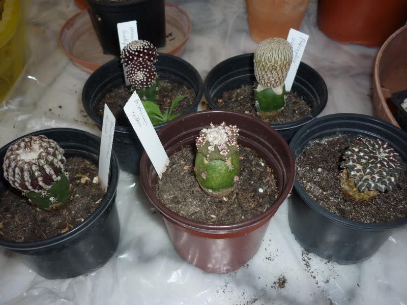My cacti + succulents P1000092