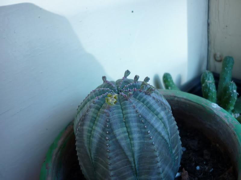 My cacti + succulents P1000131