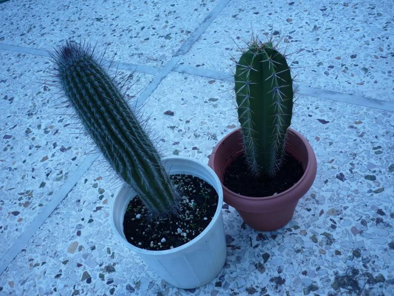 4 IDs : Ferocactus, Columnars P1000142