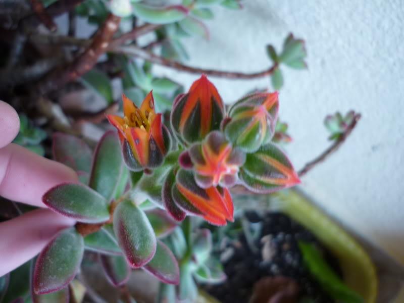 Echeveria pulvinata [ROSE] in flower P1000170