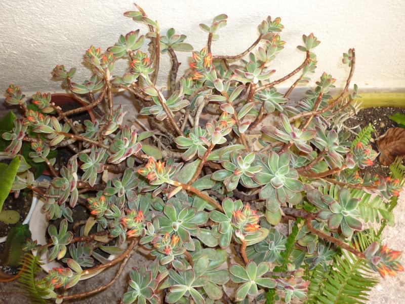 Echeveria pulvinata [ROSE] in flower P1000177