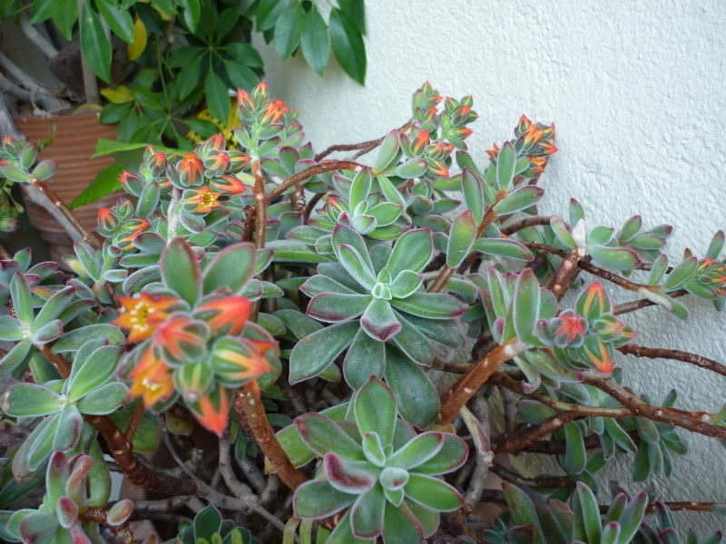Echeveria pulvinata [ROSE] in flower P1000178