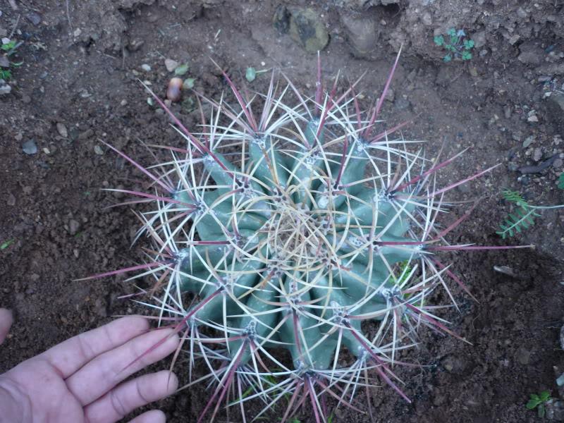 My cacti + succulents P1000328