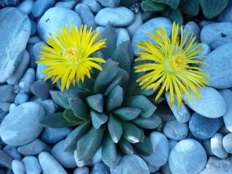 My cacti + succulents P1000358