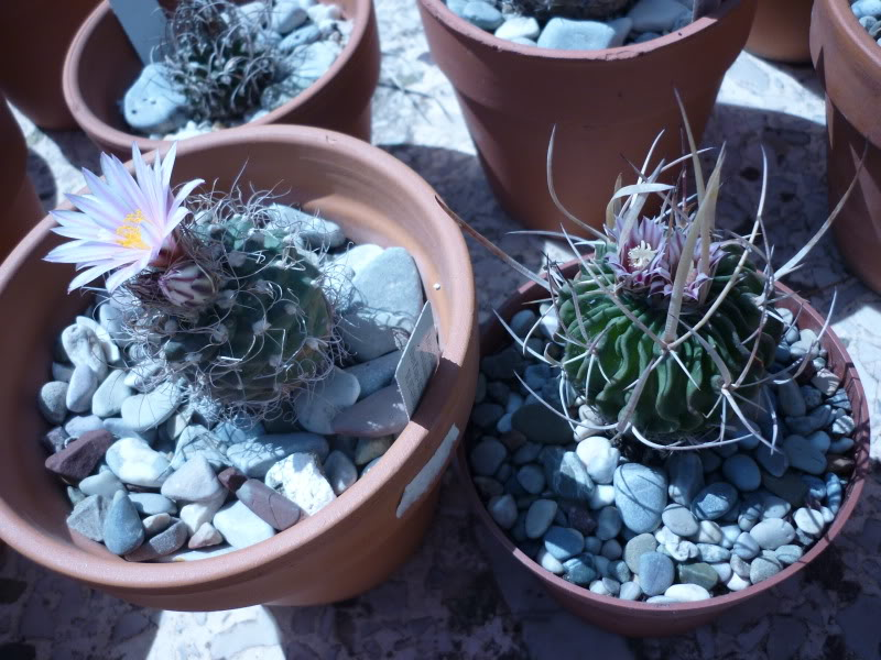 My cacti + succulents P1000371