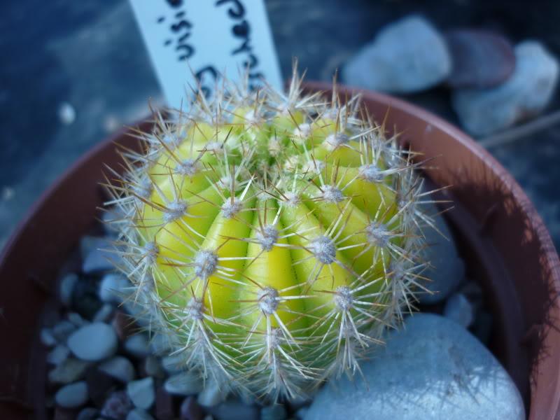 My cacti + succulents P1000426