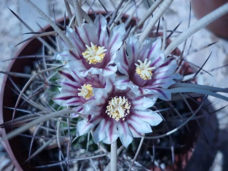 My Stenocacti flowering P1000434