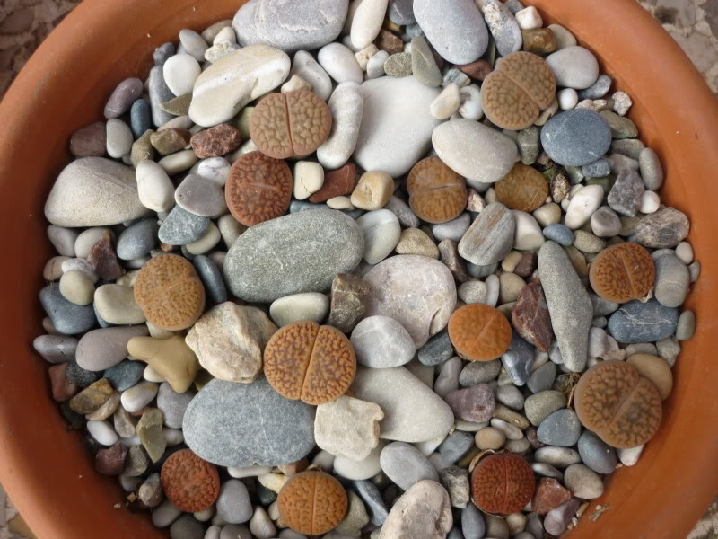 Lithops Soil Mix & Sand Top Dressing P1000515