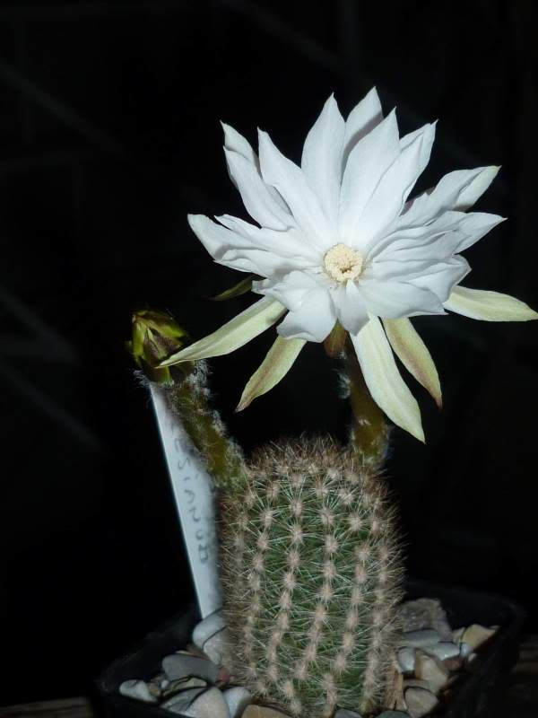 My cacti + succulents P1000658