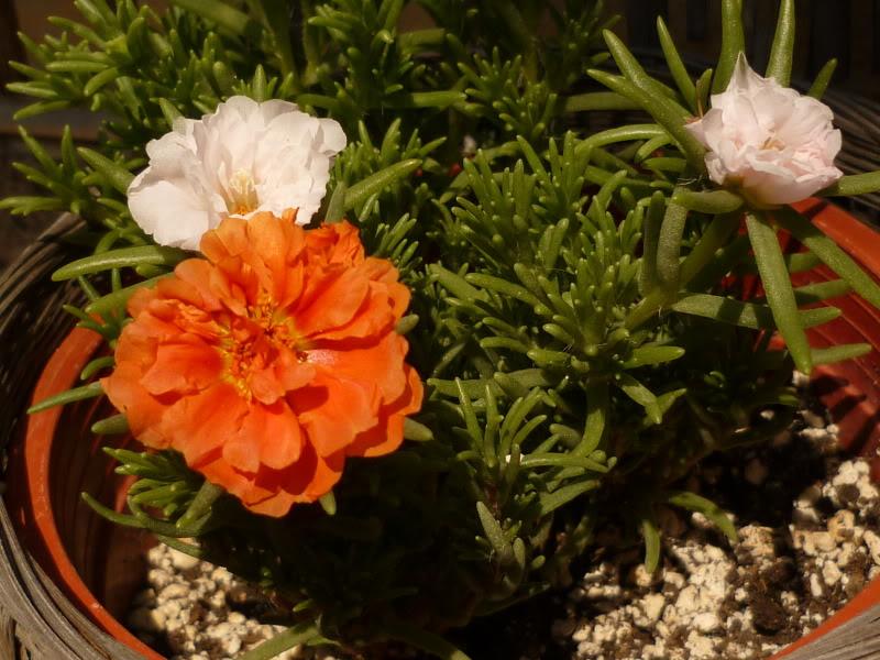 My cacti + succulents P1000661