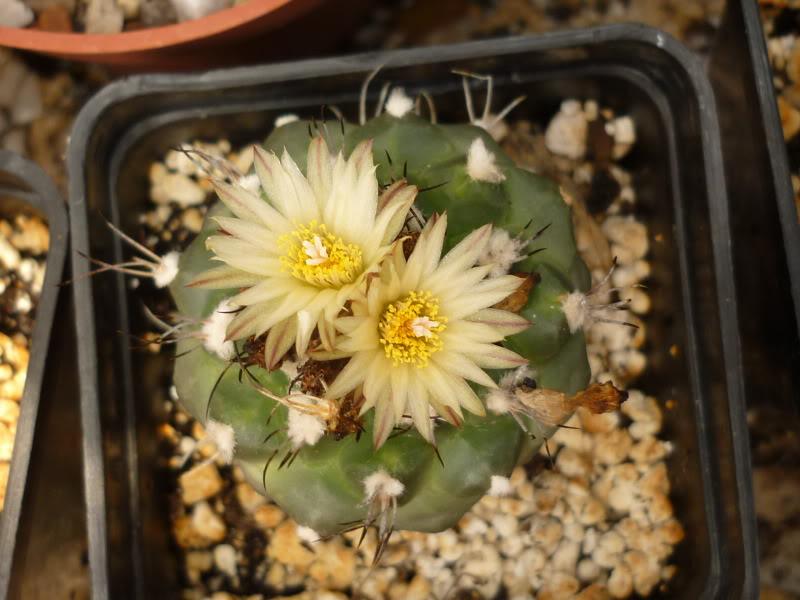 My cacti + succulents P1000664