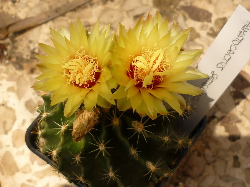 My cacti + succulents P1000667