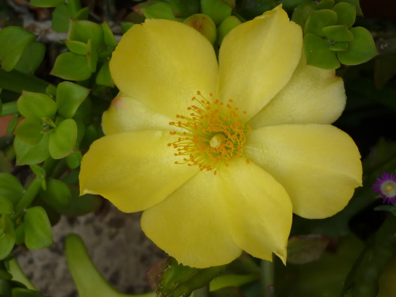 Pereskiopsis flowering!! P1000672