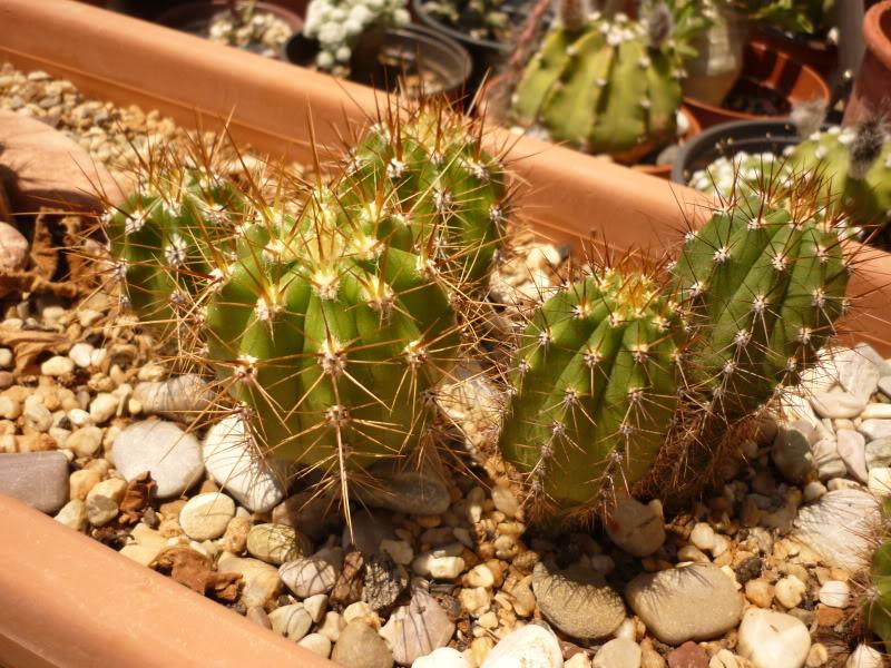 My cacti + succulents P1000676