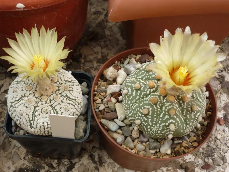 My cacti + succulents P1000678