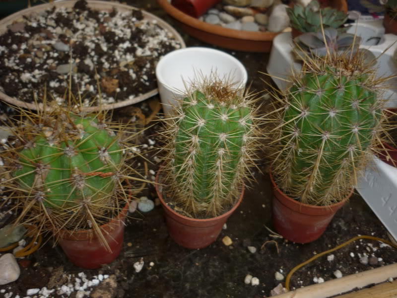 Show us  your cacti - Page 6 P1010273