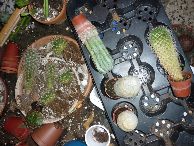 Show us  your cacti - Page 6 P1010283