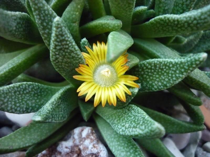 My cacti + succulents P1020131