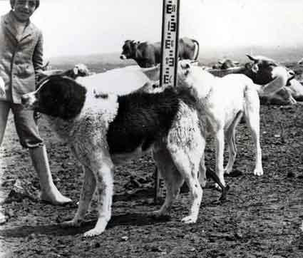 Пастушьи собаки Грузии Aborigen20