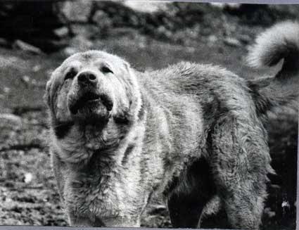Пастушьи собаки Грузии Aborigen47