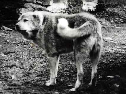 Пастушьи собаки Грузии Aborigen50